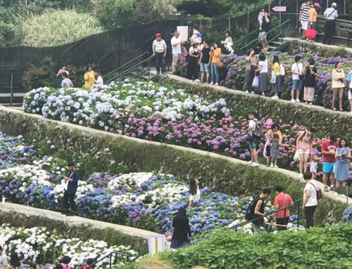 Hydrangea Blossom Season Begin in YangMingShan 2018